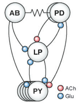 The pyloric circuit, part of the group of nerve cells in the lobster that control digestion. The communication between these neurons is controlled by two neurotransmitters, acetylcholine (ACh in pink) and glutamate (Glu in blue). Image from Figure 4a of Marder & Bucher, 2007.