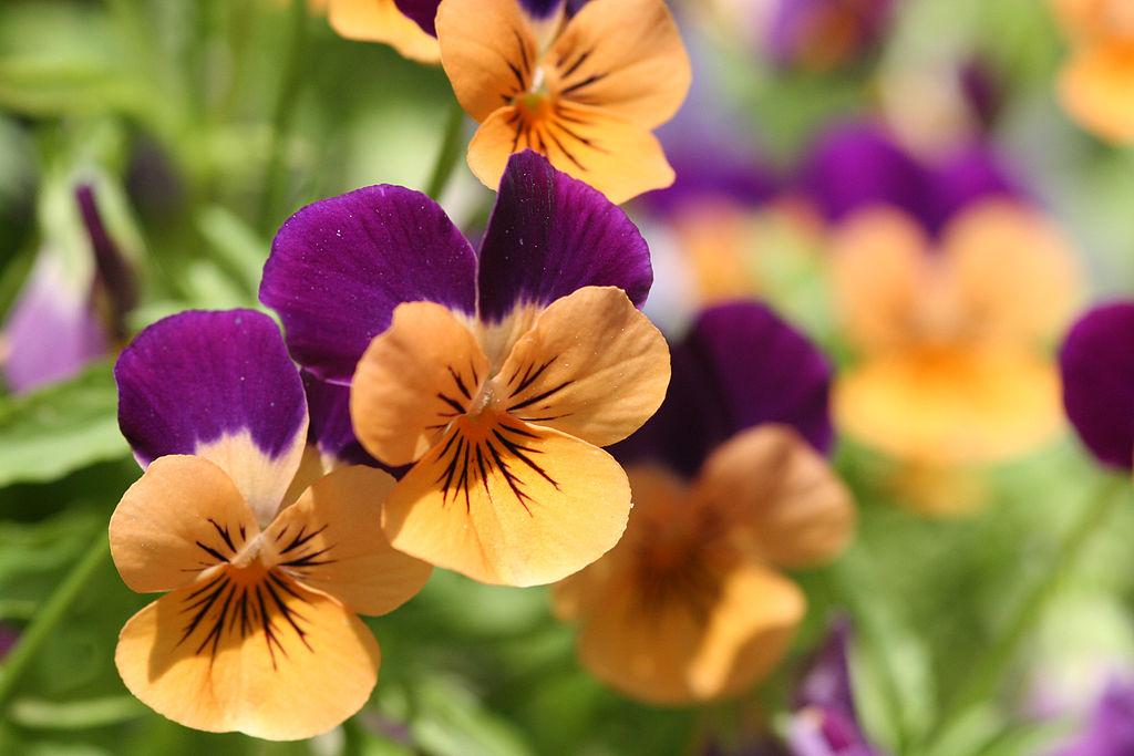 photo of purple pansies
