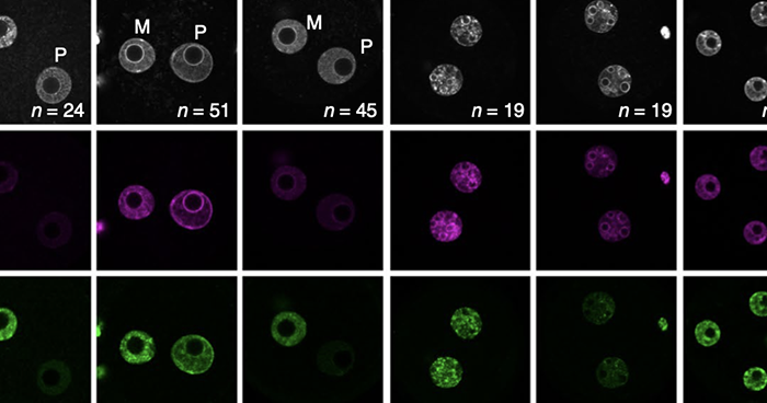 H2AK119ub1 expression oocytes