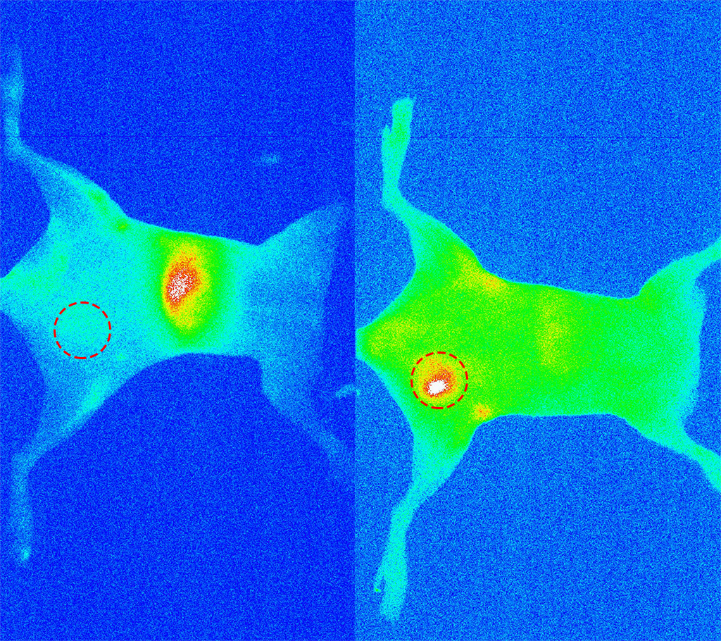 An image showing that antibody-conjugated quantum dots localize breast tumor in mice