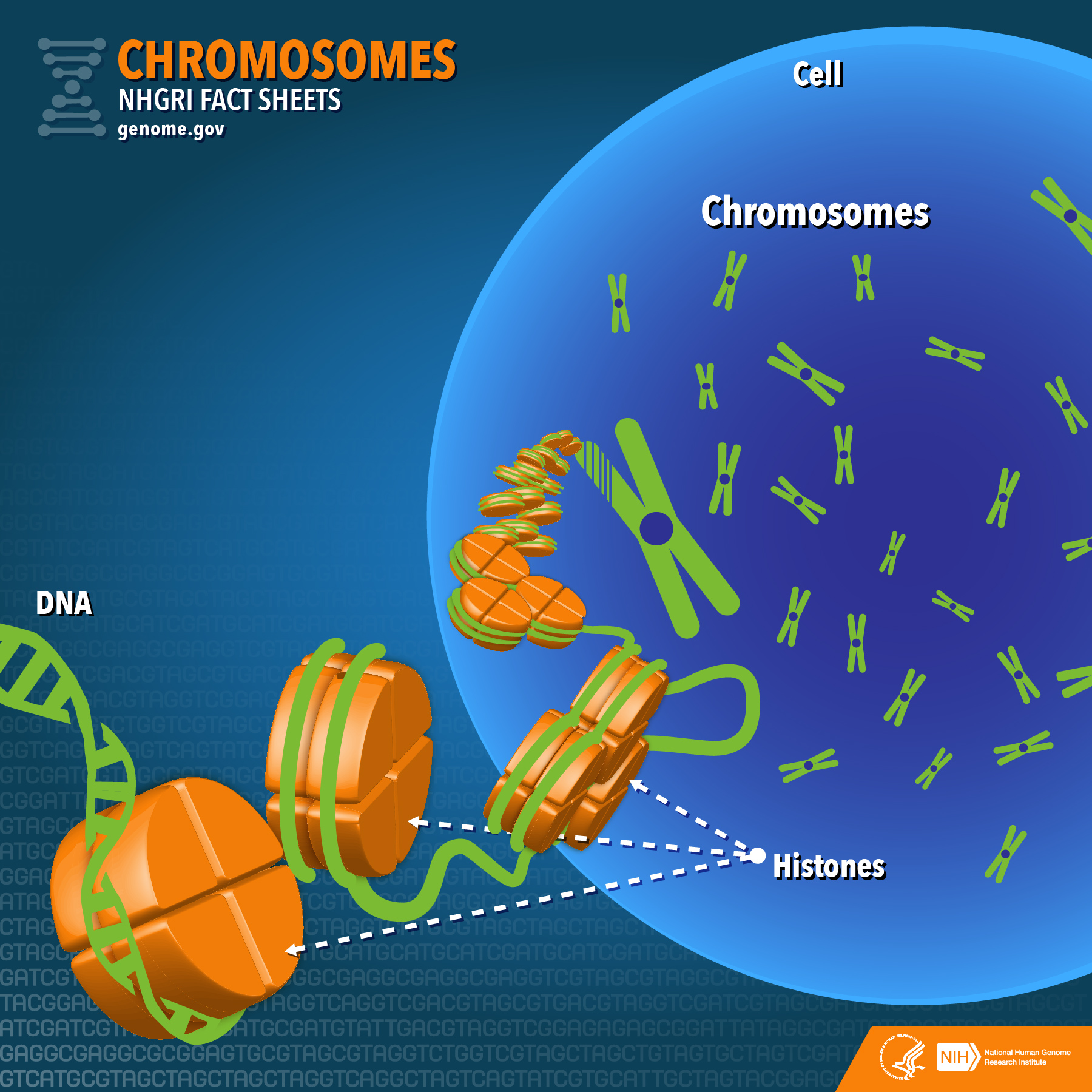 schematic of DNA wrapping into chromosomes