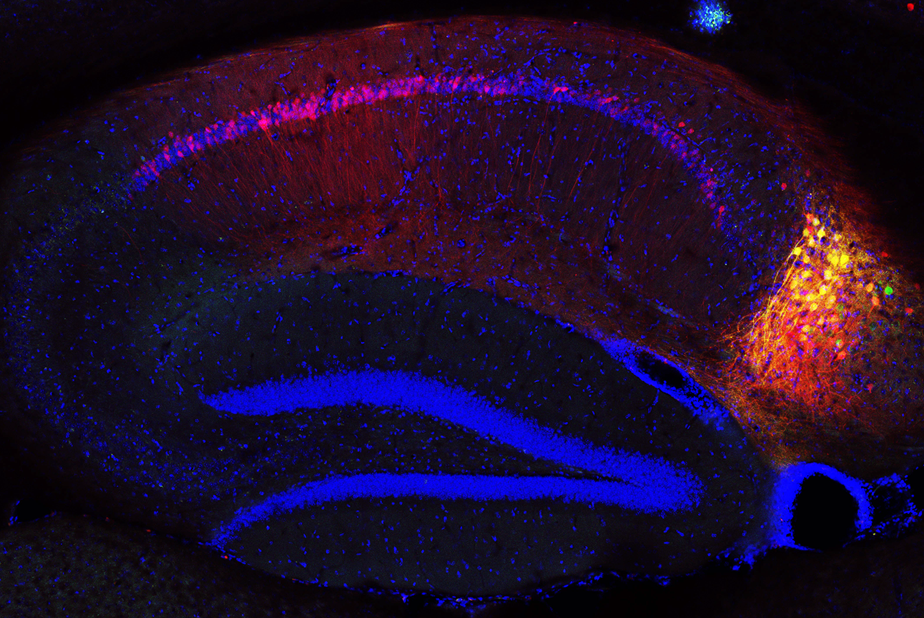 Identifying inputs to subiculum neurons