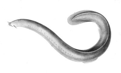 Evolution of the inner ear: insights from jawless fish