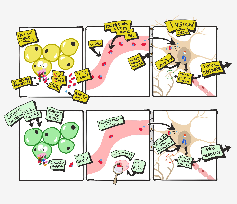 FABP4 model for pathogenesis of ASD