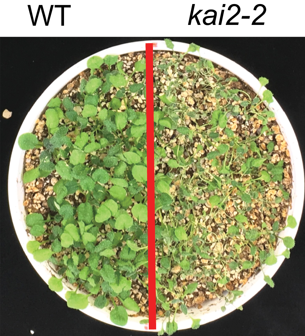 Photo showing wildtype and kai2 mutant plants grown in the same pot for 14 days without water.