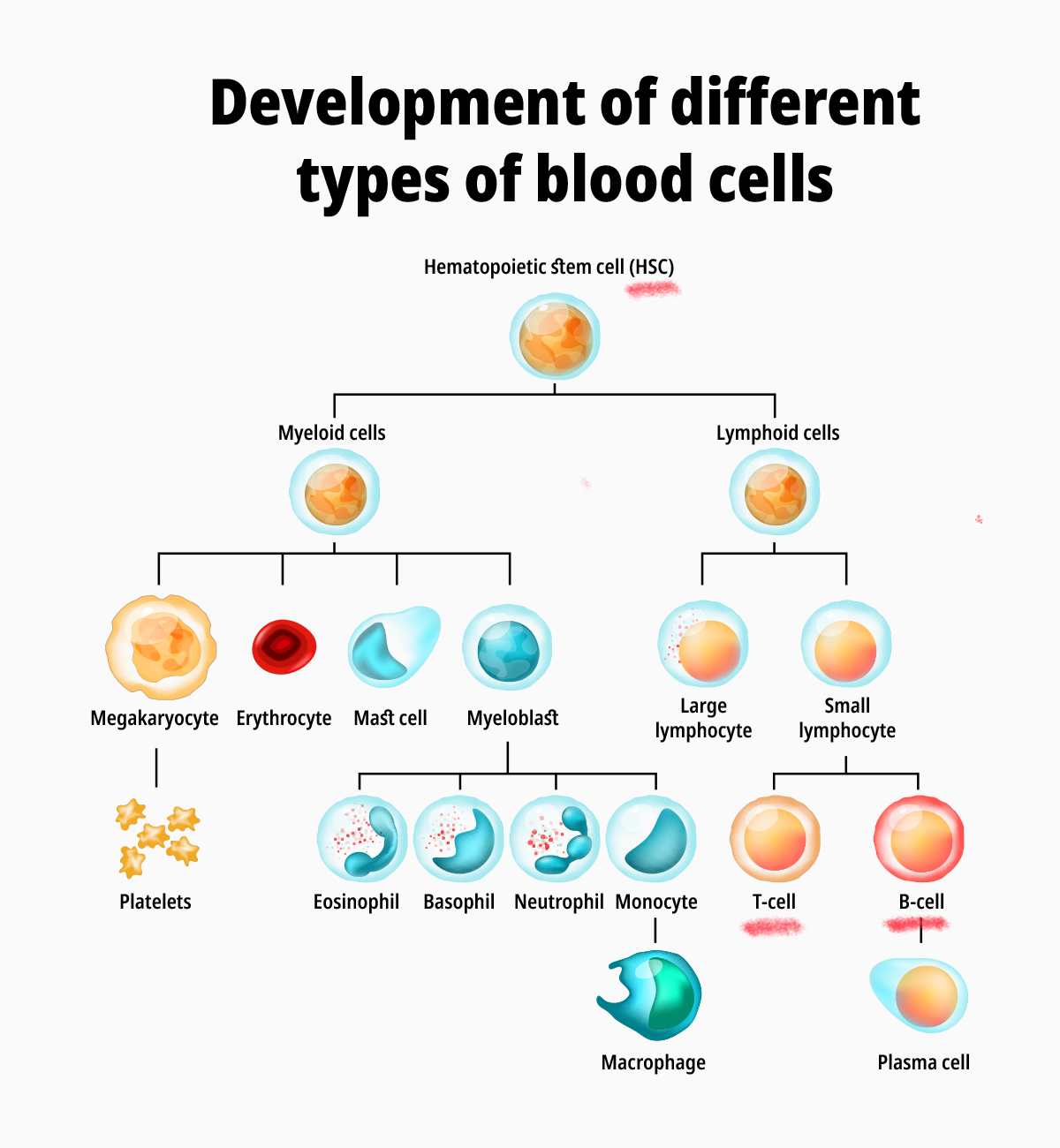 blood cell development