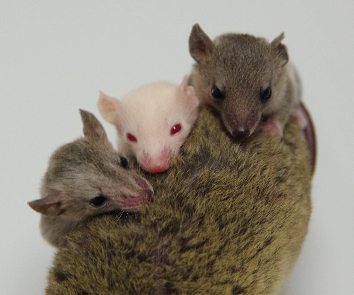 genome edited marsupials