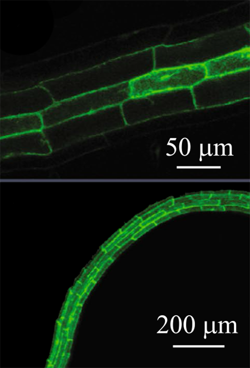 Fluorescence imaging showing PDC1 localized to roots