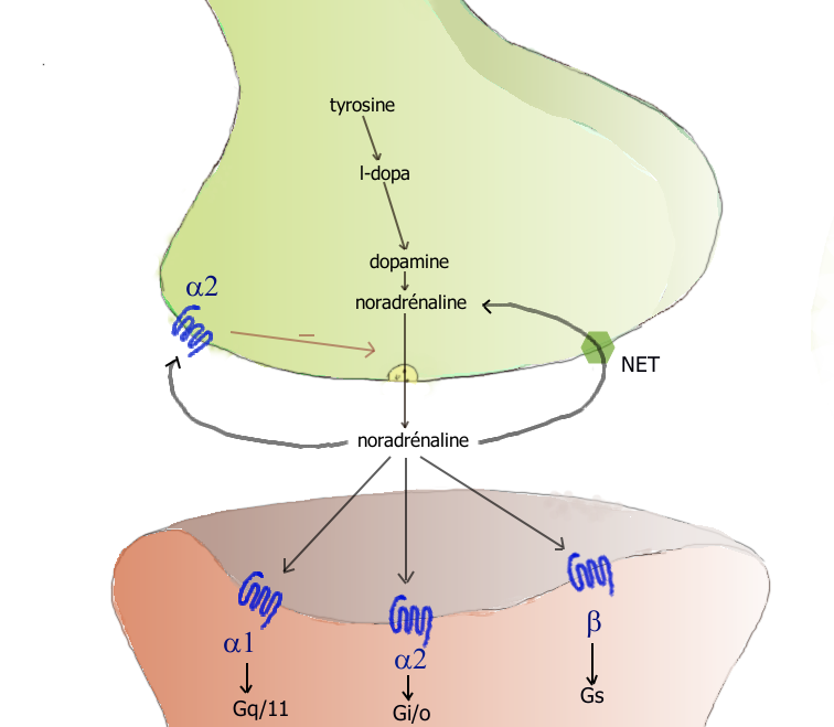 A norasgrenergic synapse