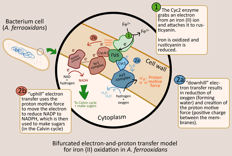 iron oxidation and electron transfer