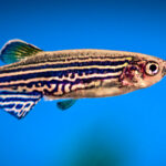 Zebrafish imagine a danger-free future to avoid threats in virtual reality