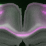 Microcolumns: elementary neuronal units that carpet the (mouse) brain