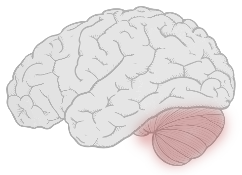 sketch of brain with cerebellum