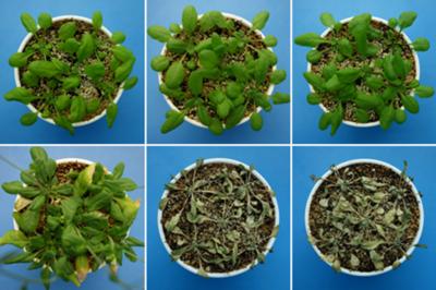 Plant hormone combats dehydration