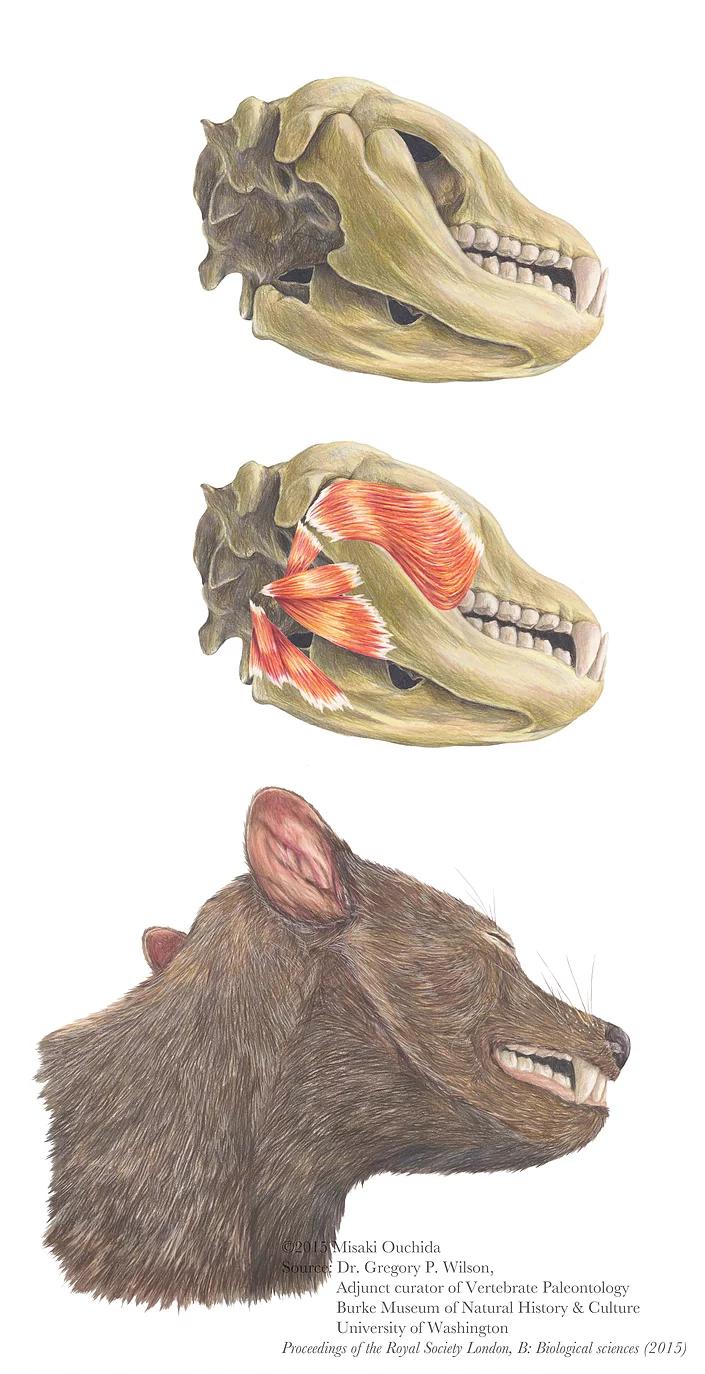 Didelphodon by misaki ouchida