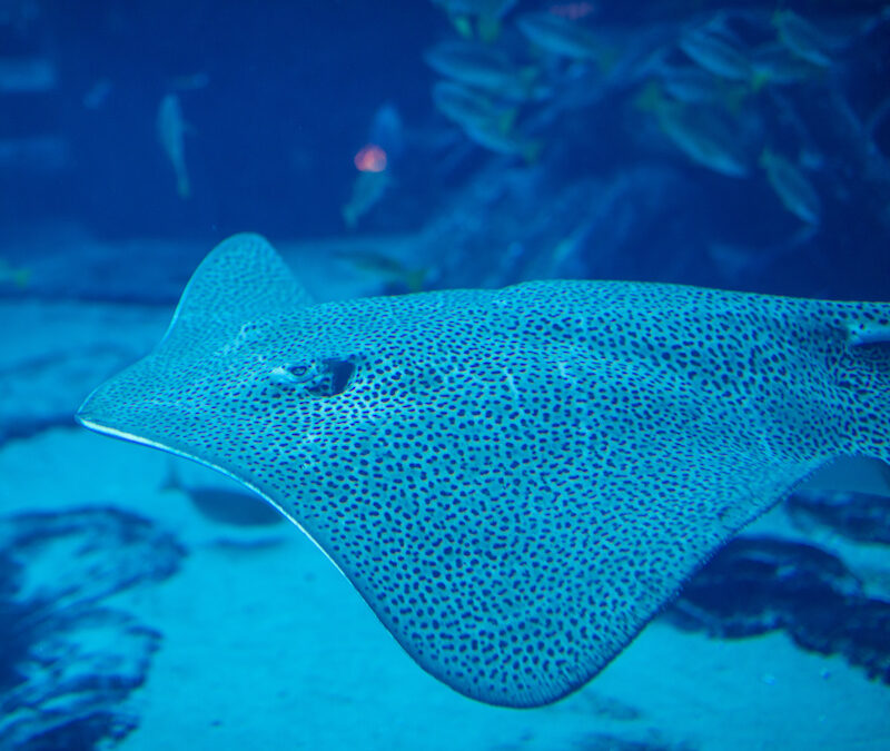 Electric rays to help us map the ocean floor