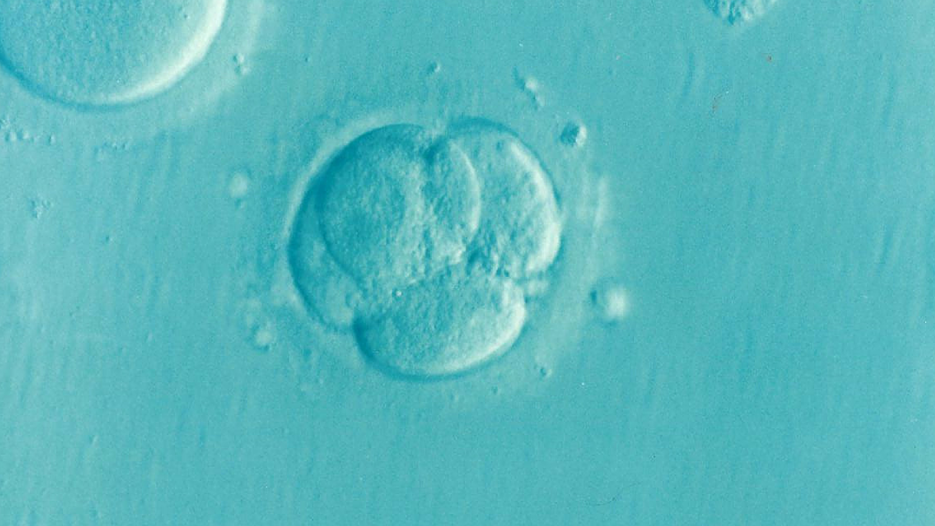 An embryo just after fertilization