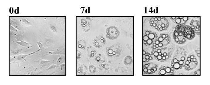 Figure 1. Differentiation of fat cells. At 14 days, St6gal1 levels were significantly reduced.