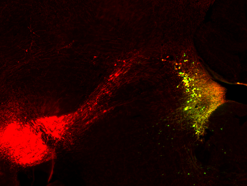 Astrocytes powered by norepinephrine during fear-memory formation