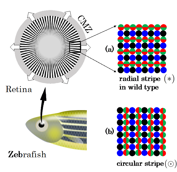 schematic of retinal patterns in zebrafish