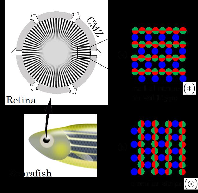 schematic of retinal patterns in zebrafish