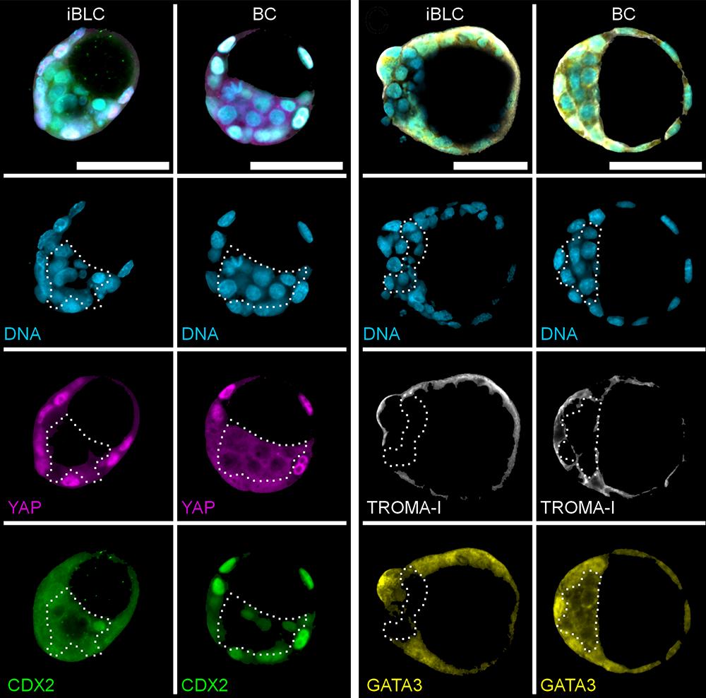 induced blastocyst-like cysts resemble blastocysts