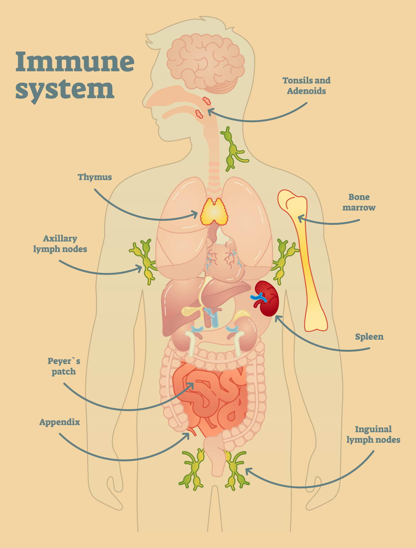 diagram of the immune system