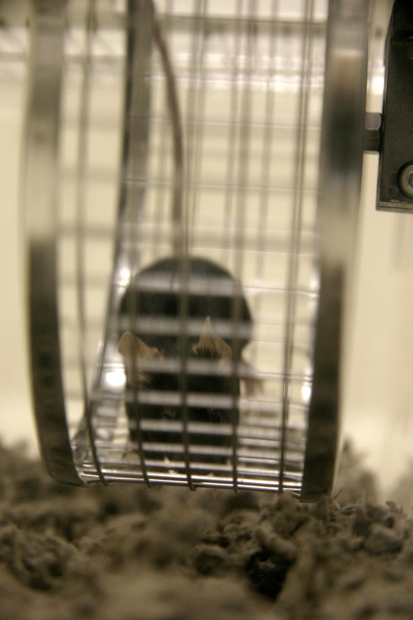 melatonin mouse on wheel