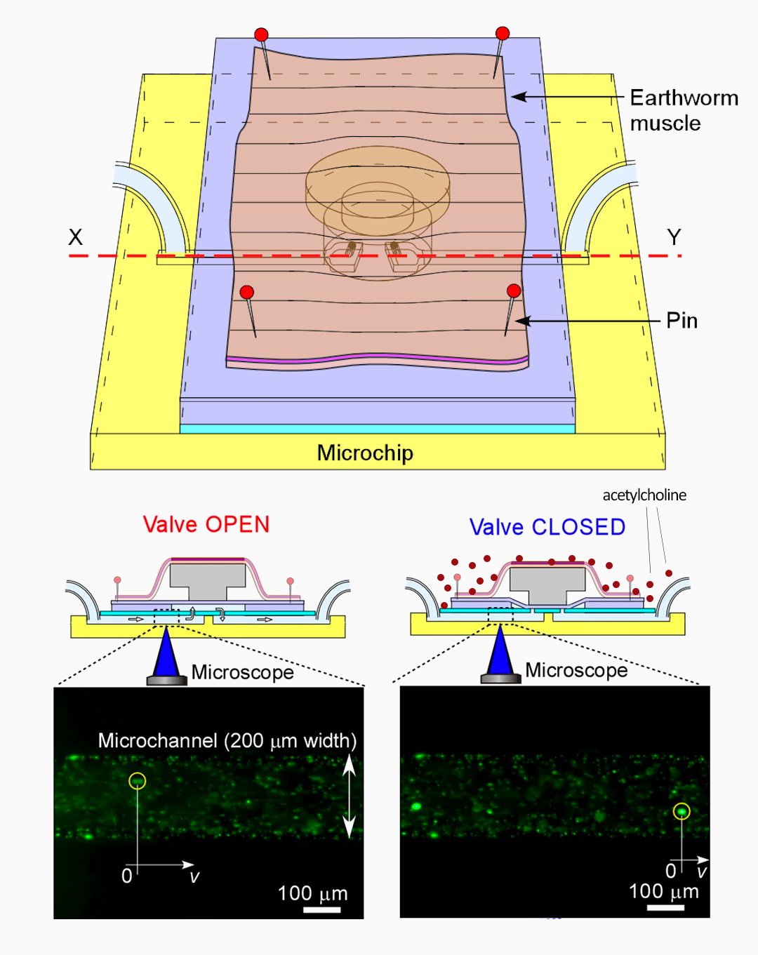 earthworm muscle bio‐MEMS schematic
