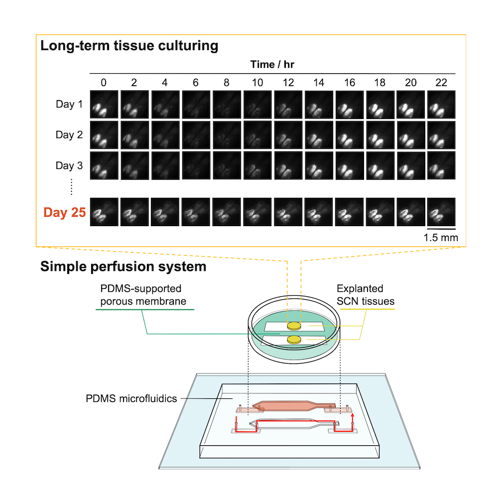 microfluidic tissue culture device
