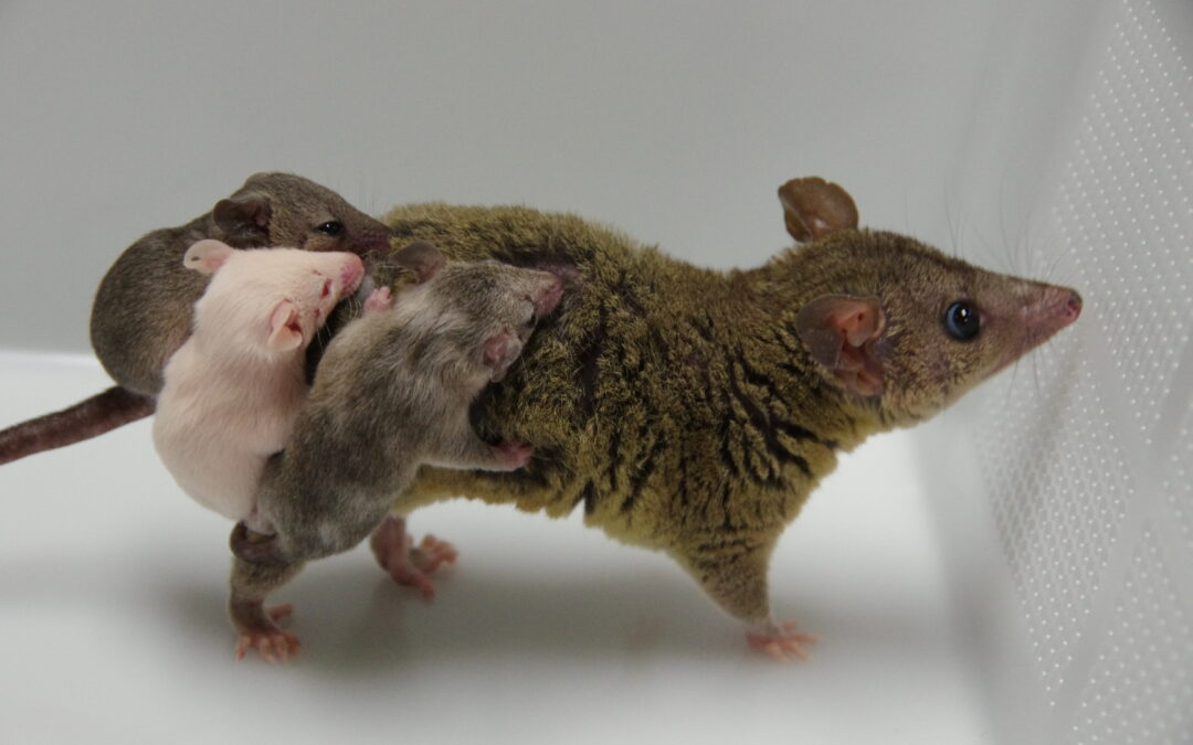 Opossums are the first genome edited marsupials