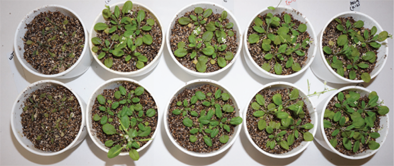 photo showing survival of pTSPO-PDC1 transgenic plants
