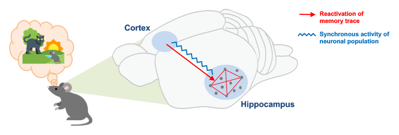 ACC-hippocampal synchrony for remote memories