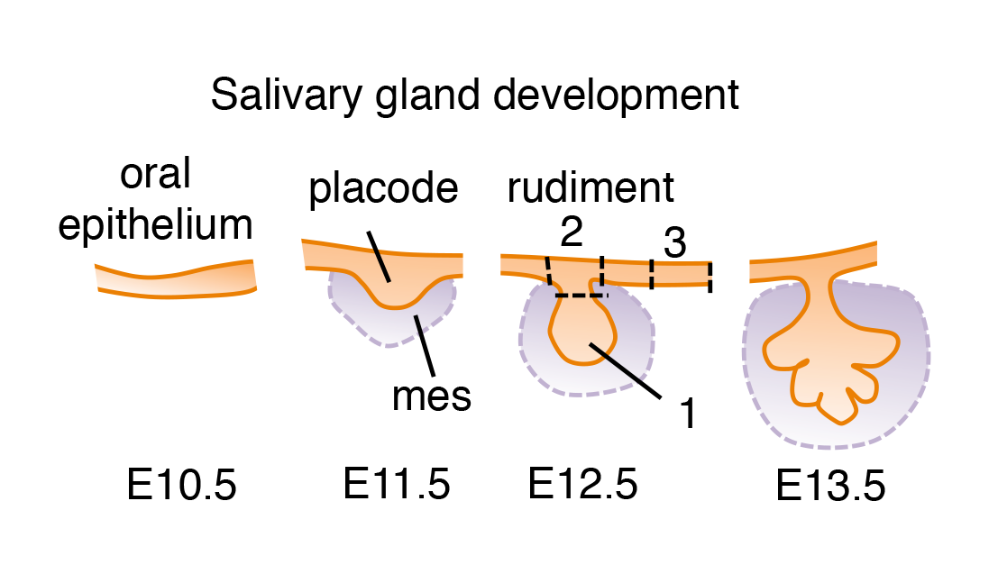 diagram of salivary gland development