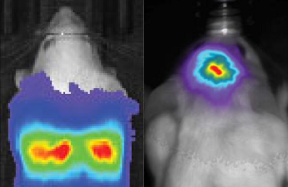 bioluminescence imaging of the rat brain