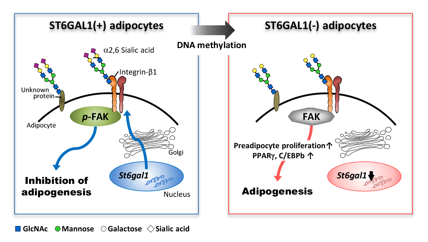 Schematic model for the inhibitory role of ST6GAL1 in adipogenesis.